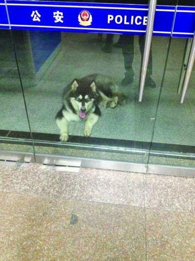 这只阿拉斯加雪橇犬到派出所找主人。