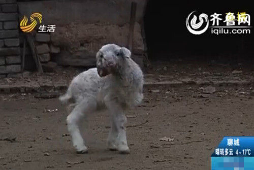 双头小羊有两个头,中间一只眼睛,两个嘴(视频截图)