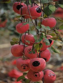 先进的sod苹果生产技术