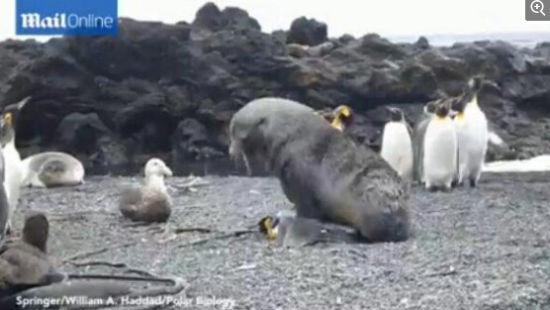 亚南极地区的海狗在捕获企鹅后,与其强行交配,事后将其撕碎当作食物。