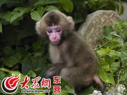 25只日本猕猴长途跋涉进驻东营黄河三角洲动