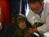 黑猩猩体检