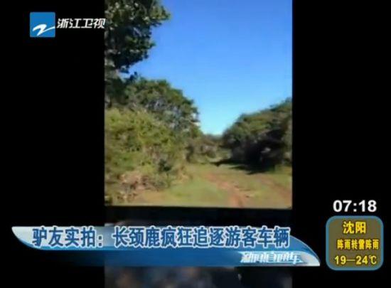 实拍长颈鹿疯狂追逐游客 游客驾车逃窜